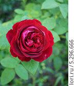 Роза Остина. Стоковое фото, фотограф Елена Мумрина / Фотобанк Лори