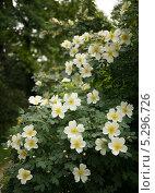 Белый шиповник. Стоковое фото, фотограф Елена Мумрина / Фотобанк Лори