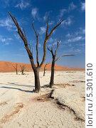 Купить «Вид на деревья в Мертвой долине на глиняном плато Соссусфлей в центральной части пустыни Намиб на территории национального парка Намиб Науклюфт (Namib Naukluft), Намибия», фото № 5301610, снято 18 июня 2013 г. (c) Николай Винокуров / Фотобанк Лори