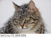 Кошка в снегу. Стоковое фото, фотограф Елена Носик / Фотобанк Лори