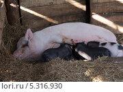 Купить «Свиноматка и поросята», фото № 5316930, снято 27 октября 2013 г. (c) Александр Степанов / Фотобанк Лори