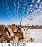 Купить «Тур на северных оленях», фото № 5319038, снято 25 февраля 2012 г. (c) Владимир Мельников / Фотобанк Лори