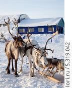 Купить «Тур на северных оленях», фото № 5319042, снято 25 февраля 2012 г. (c) Владимир Мельников / Фотобанк Лори