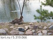 Купить «Утка сидит на берегу пруда», фото № 5319066, снято 2 мая 2013 г. (c) Светлана Попова / Фотобанк Лори
