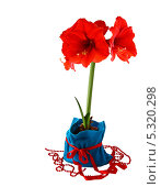 Купить «Цветущий красный гиппеаструм (амарилис) в синем декоративном мешке», фото № 5320298, снято 1 февраля 2013 г. (c) Олеся Сарычева / Фотобанк Лори