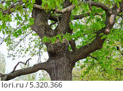 Дуб обыкновенный или черешчатый (Quercus robur) Стоковое фото, фотограф Алёшина Оксана / Фотобанк Лори