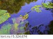 Зеленая лягушка в воде. Стоковое фото, фотограф Irina Kolokolnikova / Фотобанк Лори