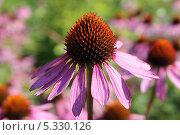 Купить «Эхинацея пурпурная. Макро», эксклюзивное фото № 5330126, снято 17 августа 2013 г. (c) Наташа Антонова / Фотобанк Лори
