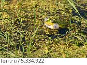 Купить «Зеленая лягушка. Самец лягушки прудовой (Rana Lessonae)», эксклюзивное фото № 5334922, снято 5 июня 2011 г. (c) Щеголева Ольга / Фотобанк Лори