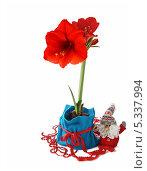 Купить «Красный амарилис (hippeastrum) в синем мешке и новогодняя игрушка», фото № 5337994, снято 1 февраля 2013 г. (c) Олеся Сарычева / Фотобанк Лори
