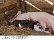 Купить «Свиноматка и поросята», фото № 5339854, снято 27 октября 2013 г. (c) Александр Степанов / Фотобанк Лори
