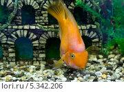 Рыба-попугай в аквариуме крупным планом, фото № 5342206, снято 14 августа 2013 г. (c) Евгений Ткачёв / Фотобанк Лори