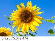 Купить «Подсолнух на фоне голубого неба», фото № 5342474, снято 19 марта 2019 г. (c) FotograFF / Фотобанк Лори