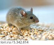 Купить «Серая мышь», фото № 5342814, снято 28 апреля 2007 г. (c) Эдуард Кислинский / Фотобанк Лори