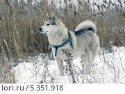 Купить «Сибирский хаски», фото № 5351918, снято 15 июля 2013 г. (c) макаров виктор / Фотобанк Лори