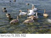 Купить «Лебедь - шипун на побережье города Актау, Казахстан», эксклюзивное фото № 5355102, снято 2 января 2000 г. (c) Blekcat / Фотобанк Лори