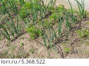 Купить «Морковь и зеленый лук на грядке», эксклюзивное фото № 5368522, снято 14 июня 2013 г. (c) Елена Коромыслова / Фотобанк Лори