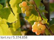 Гроздь спелого винограда. Стоковое фото, фотограф Владимир Ворона / Фотобанк Лори