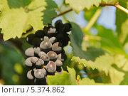 Гроздь винограда. Стоковое фото, фотограф Владимир Ворона / Фотобанк Лори