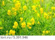 Купить «Чина луговая на лужайке», фото № 5391946, снято 12 июня 2013 г. (c) Татьяна Волгутова / Фотобанк Лори