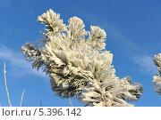 Купить «Заснеженная ветка ели в солнечный день», фото № 5396142, снято 7 декабря 2010 г. (c) Татьяна Кахилл / Фотобанк Лори