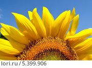 Купить «Половинка подсолнечника», фото № 5399906, снято 7 июля 2013 г. (c) Паровышник Наталья / Фотобанк Лори