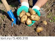 Купить «Выкопанный молодой картофель в руках дачника», эксклюзивное фото № 5400318, снято 13 сентября 2013 г. (c) Елена Коромыслова / Фотобанк Лори