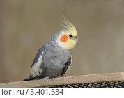 Попугай корелла сидит на жёрдочке. Стоковое фото, фотограф Dmitry29 / Фотобанк Лори