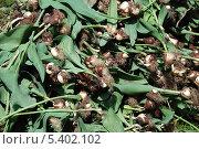 Купить «Выкопанные клубни тюльпанов на клумбе в Парке Горького, Москва», эксклюзивное фото № 5402102, снято 30 мая 2010 г. (c) lana1501 / Фотобанк Лори