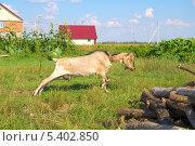 Купить «Коза потягивается», фото № 5402850, снято 26 августа 2013 г. (c) Айнур Шауэрман / Фотобанк Лори