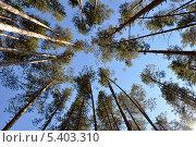Сосны на фоне голубого неба. Стоковое фото, фотограф Михаил Патраков / Фотобанк Лори