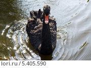 Купить «Чёрный лебедь на воде», фото № 5405590, снято 28 августа 2013 г. (c) Светлана Попова / Фотобанк Лори