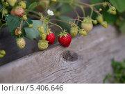 Спелая и зелёная клубника на кусте. Стоковое фото, фотограф Александр Гаврилов / Фотобанк Лори