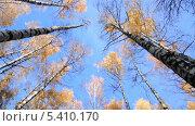 Купить «Кроны берез осенью», эксклюзивный видеоролик № 5410170, снято 21 декабря 2013 г. (c) Алёшина Оксана / Фотобанк Лори