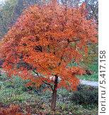 Купить «Карликовый клён», эксклюзивное фото № 5417158, снято 27 октября 2013 г. (c) Svet / Фотобанк Лори