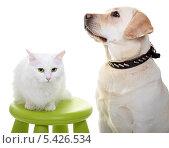 Купить «Белая ангорская кошка и собака породы Лабрадор ретривер», фото № 5426534, снято 15 января 2012 г. (c) Наталья Аксёнова / Фотобанк Лори