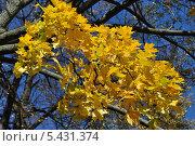 Купить «Желтые осенние листья клена на фоне синего неба», эксклюзивное фото № 5431374, снято 13 октября 2013 г. (c) lana1501 / Фотобанк Лори