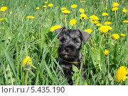 Черный щенок в одуванчиках. Стоковое фото, фотограф Михаил Дериглазов / Фотобанк Лори