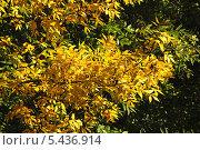 Купить «Желтые осенние листья», эксклюзивное фото № 5436914, снято 18 сентября 2011 г. (c) lana1501 / Фотобанк Лори