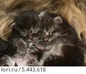 Купить «Два новорожденных котенка», фото № 5443618, снято 31 декабря 2013 г. (c) Бутинова Елена / Фотобанк Лори