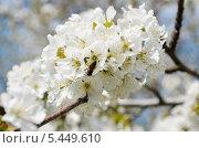 Цветение черешни с рабочей пчелой. Стоковое фото, фотограф Паровышник Наталья / Фотобанк Лори