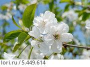 Купить «Цвет вишни», фото № 5449614, снято 29 апреля 2013 г. (c) Паровышник Наталья / Фотобанк Лори