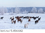 Табун лошадей зимой на заснеженном поле. Стоковое фото, фотограф Виктория Катьянова / Фотобанк Лори