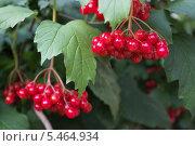 Купить «Ягоды калины на ветвях», фото № 5464934, снято 25 августа 2013 г. (c) Александр Романов / Фотобанк Лори
