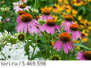 Купить «Эхинацея в саду», фото № 5469598, снято 28 июля 2013 г. (c) Альбина Ялунина / Фотобанк Лори
