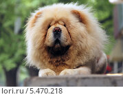 Собака породы чау-чау. Стоковое фото, фотограф Kate Chizhikova / Фотобанк Лори