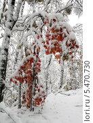 Купить «Красный клен под снегом», фото № 5470730, снято 21 мая 2018 г. (c) Владимир Шеховцев / Фотобанк Лори