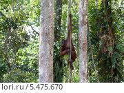 Обезьяна орангутанг висит на канате в джунглях Борнео. Стоковое фото, фотограф Гуляева Юлия / Фотобанк Лори