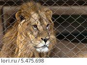 Лев в клетке. Стоковое фото, фотограф Гуляева Юлия / Фотобанк Лори