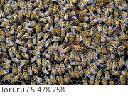 Купить «Пчелиная семья на сотах вокруг пчелиной матки», фото № 5478758, снято 25 декабря 2013 г. (c) Григорий Писоцкий / Фотобанк Лори